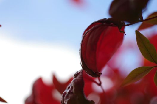 Red Leaves by Althalore