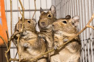 Degus by StainXY