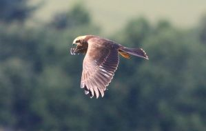 Marsh Harrier (female) by NurturingNaturesGift
