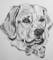 Labrador drawing by camilleroc