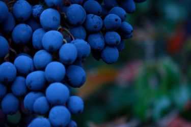 Berries of Blue by Checkerberry