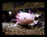 Axolotl by AderynDawn