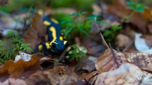 little arlequin by rdalpes