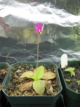 Pinguicula moranensis flower by Xython