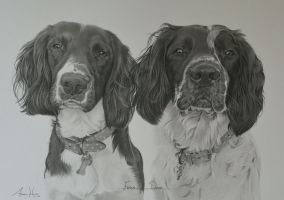 Commission - Springer Spaniels 'Fergus and Dylan' by Captured-In-Pencil