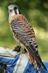 American Kestrel 2 by EdgedFeather