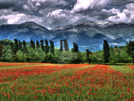 red poppies landscape in springtime by rattodisabina