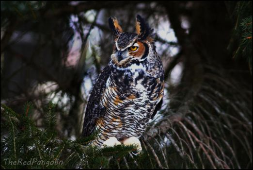 Great Horned Owl by RedPangolin