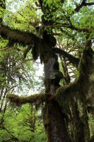 Hoh tree hanging moss 2 by seancfinnigan