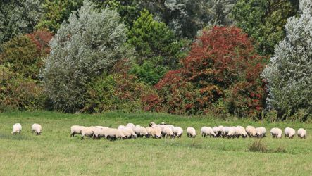 Flock of sheep by UdoChristmann