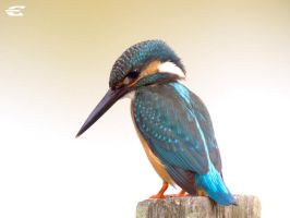 Common kingfisher by jitspics