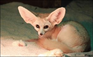 Fennec fox is relaxing by woxys