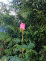 Pink rose by a pine tree 0198 Holyoke MA by caspercrafts