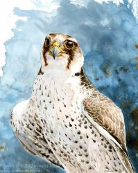 Lanner Falcon Study by Nambroth