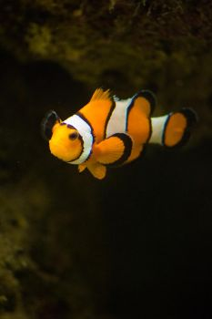 Clown FIsh by Maltese-Naturalist