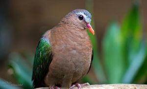 Emerald Dove by PaulaDarwinkel