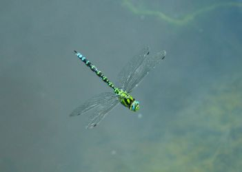 beautiful dragonfly by happymaster