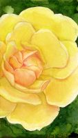 Yellow Rose by matildarose