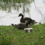 More Goslings by A-Fox-Of-Fiction