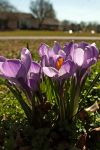 Crocuses  by WanderingMogwai