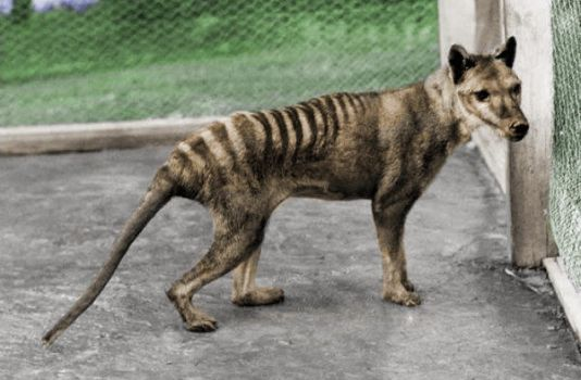 Thylacine - Recolored by classicalguy