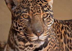 Jaguar 8354 by robbobert
