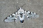 Giant Leopard Moth by crotafang