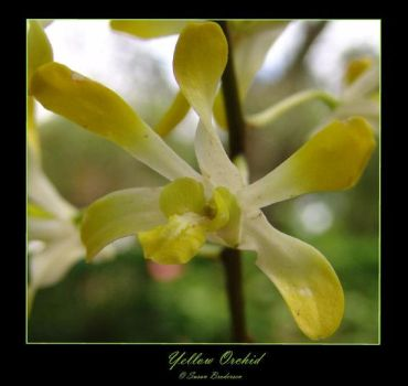 Yellow Orchid by sleepingbeauty89