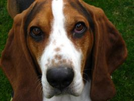 Basset Hound by BlackCatBlvd13
