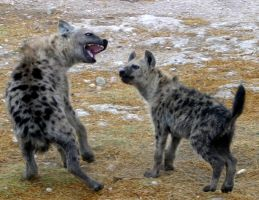 Playful Hyenas by TimBakerFX