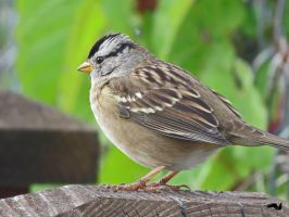 White capped Sparrow sitting. by wolfwings1