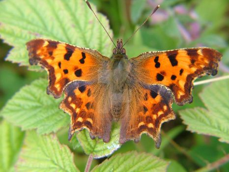 Comma Butterfly 2015 08 02 by Calilasseia