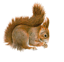 Squirrel PNG by LG-Design