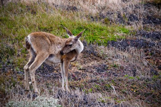 Point Reyes - Deer by xdgrace