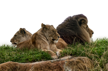 Lion and lioness'  PNG Stock.. by AledJonesDigitalArt