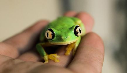 Lemur Tree Frog by loveorcaz
