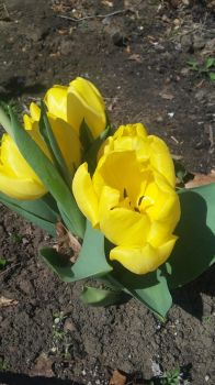 Yellow Tulips by SharkGirl15