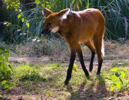 Maned Wolf No. 1 STOCK by slephoto