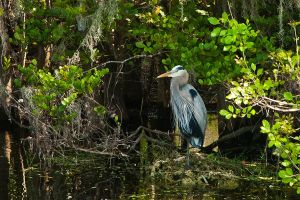Great Blue Heron by quintmckown