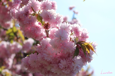 Blossoms by Lauralina