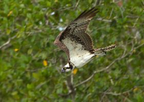 Taking a dive - Osprey by Jamie-MacArthur