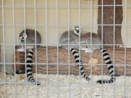 Ring-Tailed Lemurs by L1701E