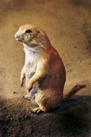 Prairie Dog by AgresticLamia