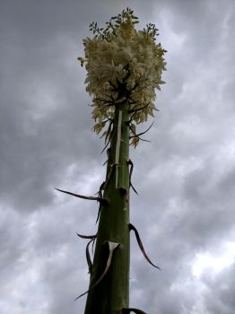 Yucca spear by Ahborson