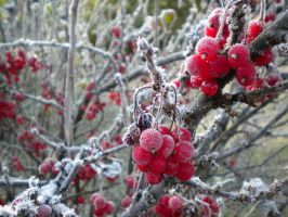 Frosty Currant by Jurv