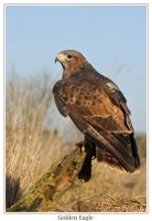 Golden eagle by AngiWallace