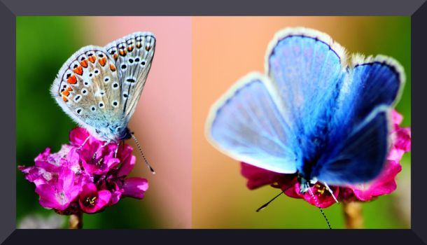 Male silver-studded blue butterfly? by Miykaels7