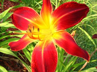 Red-Yellow-Orange lily by HakebeR