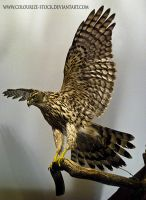 Hawk Stock2 by Colourize-Stock