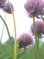 Bee on my Chives 01 by ZhoraTheWolverbabe